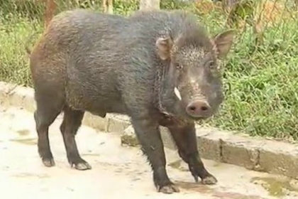 Bốn con lợn rừng húc hai người bị thương