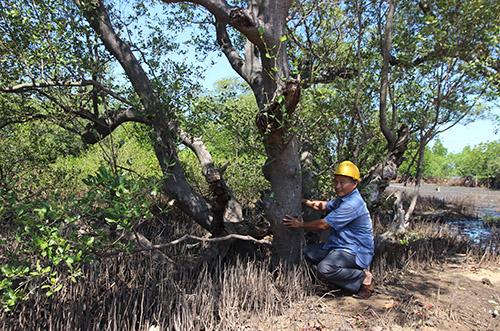 Một cây bần cổ thụ còn sót lại sau đợt thảm sát khu rừng để nuôi tôm. Ảnh: Đắc Thành.