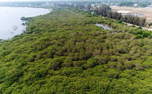Sau năm rừng ngập mặn phủ xanh dọc bở sông che chở xã Tam Giang. Ảnh: Đắc Thành.