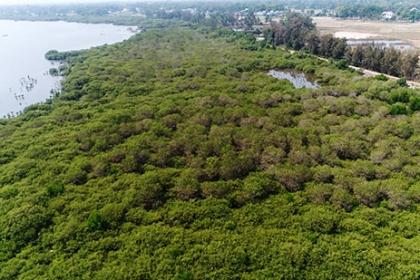 Người dân Quảng Nam khôi phục rừng ngập mặn để giữ làng