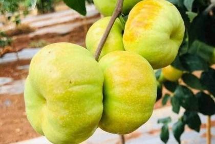 Loại táo Trung Quốc siêu lạ, giá vô cùng đắt đỏ vẫn 'cháy hàng'
