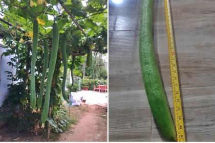 Mẹ đảm Sóc Trăng hướng dẫn trồng loại mướp khủng dài 1m2 nặng 1,5kg tại nhà