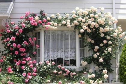 Mãn nhãn với những ngôi nhà có dàn hoa leo, ai đi qua cũng phải dừng chân ngắm nhìn