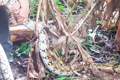 Cặp trăn gấm quý hiếm được thả vào khu bảo tồn ở miền Tây