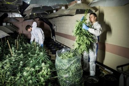 Người Việt kể công việc trồng cần sa bất hợp pháp ở Anh